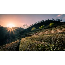 Dél-Koreai teaültetvény panoráma vászonkép