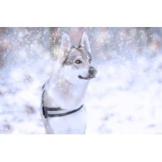 Farkaskutya a hóesésben vászonkép